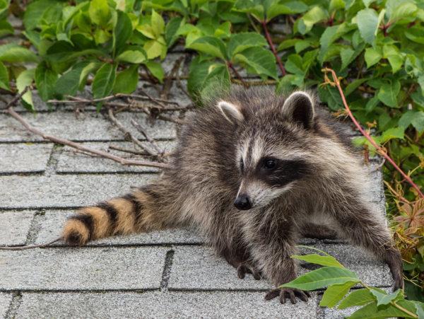 Wildlife removal